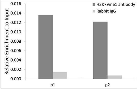 ChIP - Anti-Histone H3 (methyl K79) antibody (ab194681)