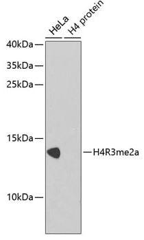 Western blot - Anti-Histone H4 (asymmetric di methyl R3) antibody (ab194683)