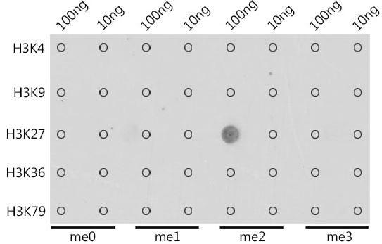 Dot Blot - Anti-Histone H3 (di methyl K27) antibody (ab194690)