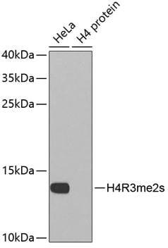 Western blot - Anti-Histone H4 (di methyl R3) antibody (ab194696)