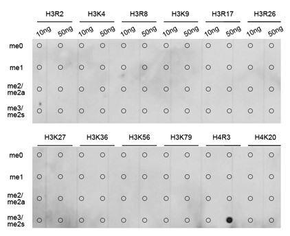 Dot Blot - Anti-Histone H4 (di methyl R3) antibody (ab194696)