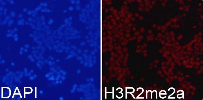 Immunocytochemistry/ Immunofluorescence - Anti-Histone H3 (asymmetric di methyl R2) antibody (ab194706)