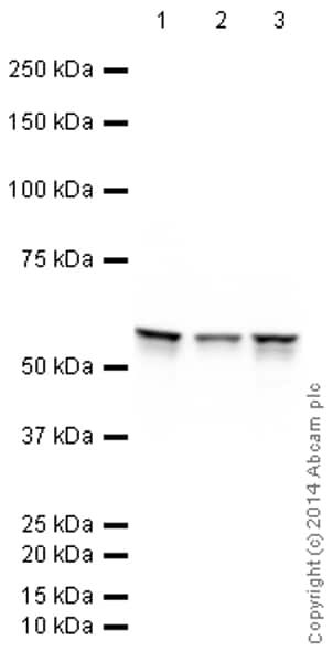 Western blot - Anti-Vimentin antibody [EPR3776] - Cytoskeleton Marker (HRP) (ab194718)