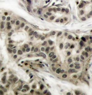 Immunohistochemistry (Formalin/PFA-fixed paraffin-embedded sections) - Anti-NFkB p105 / p50 (phospho S337) antibody (ab194729)