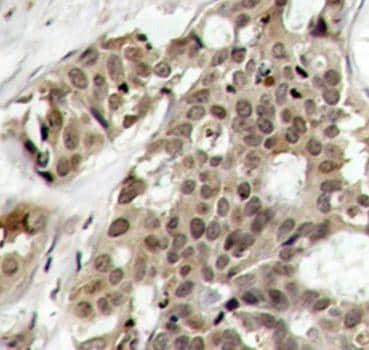 Immunohistochemistry (Formalin/PFA-fixed paraffin-embedded sections) - Anti-ERK1 (phospho Y204) antibody (ab194770)