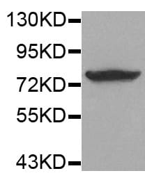 Western blot - Anti-Synapsin I (phospho S9) antibody (ab194778)