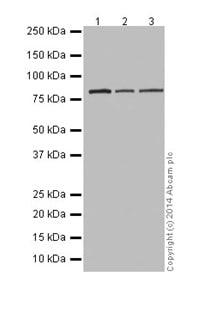 Western blot - Anti-RAB45 antibody [EPR16349] (ab194827)