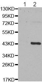 Western blot - Anti-GATA1 (phospho S310) antibody (ab194912)
