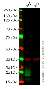 Western blot - Anti-MUC1 antibody [EPR1023] - Low endotoxin, Azide free (ab194978)
