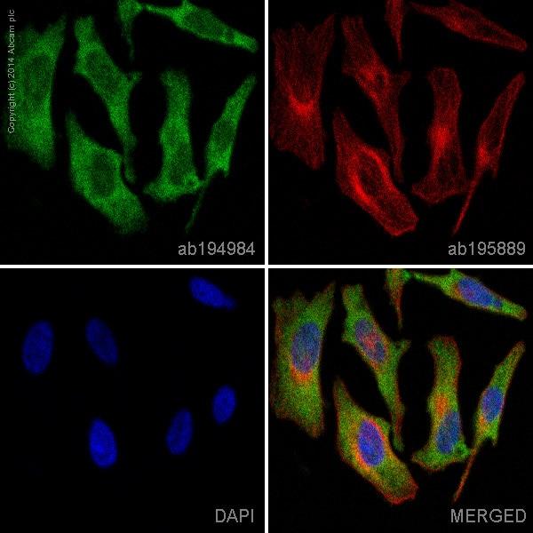 Immunocytochemistry/ Immunofluorescence - Anti-Nrf2 antibody [EP1808Y] (Alexa Fluor® 488) (ab194984)
