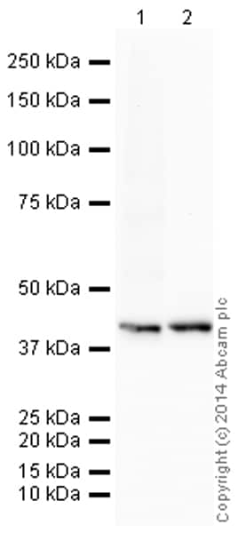 Western blot - HRP Anti-Glucose Transporter GLUT1 antibody [EPR3915] (ab195021)