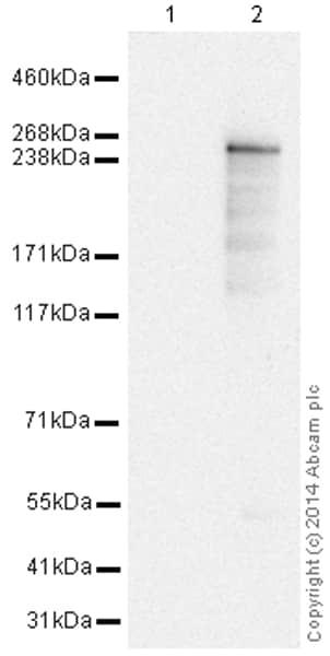 Western blot - Anti-LRRK2 antibody [MJFF2 (c41-2)] (HRP) (ab195024)