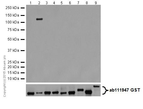 Western blot - Anti-PKC beta 1 antibody [EPR18512] (ab195039)