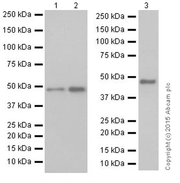 Western blot - Anti-DCAF13 antibody [EPR18723] (ab195121)