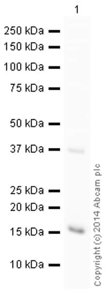 Western blot - HRP Anti-gamma H2A.X (phospho S139) antibody [EP854(2)Y] (ab195190)
