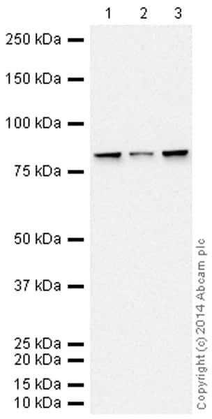 Western blot - Anti-Calnexin antibody [EPR3633(2)] - ER Membrane Marker (HRP) (ab195198)