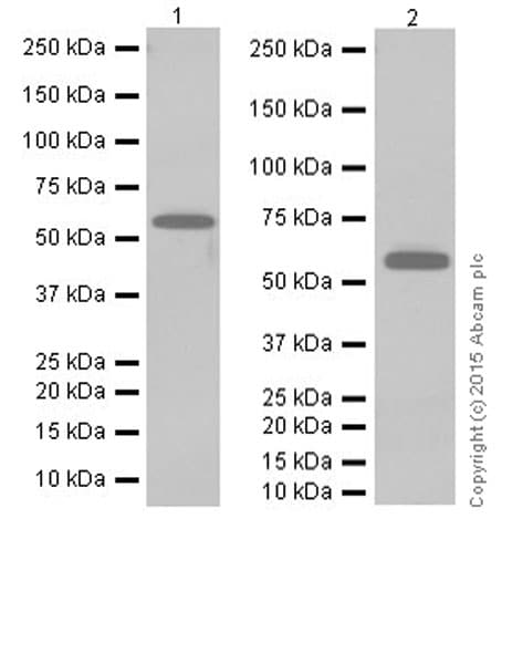 Western blot - Anti-pan-myc antibody [EPR18863] (ab195207)