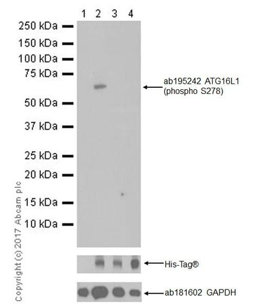 Western blot - Anti-ATG16L1 (phospho S278) antibody [EPR19016] (ab195242)
