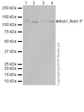 Western blot - Anti-Bub1 antibody [EPR18947] (ab195268)