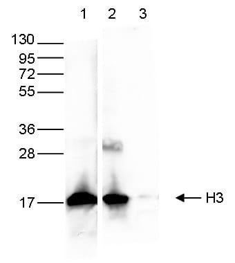Western blot - Anti-Histone H3 antibody [1B1B2] - ChIP Grade (ab195277)