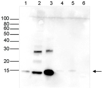 Western blot - Anti-Histone H2A antibody - ChIP Grade, purified (ab195322)