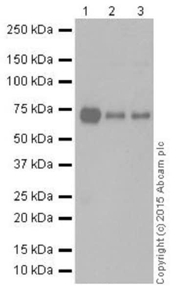Western blot - Anti-METTL3 antibody [EPR18810] (ab195352)