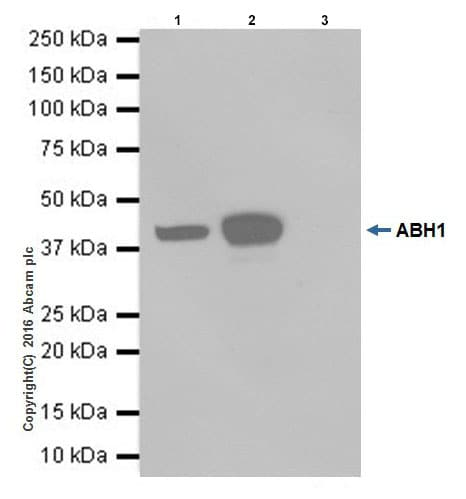 Immunoprecipitation - Anti-ALKBH1 antibody [EPR19215] (ab195376)