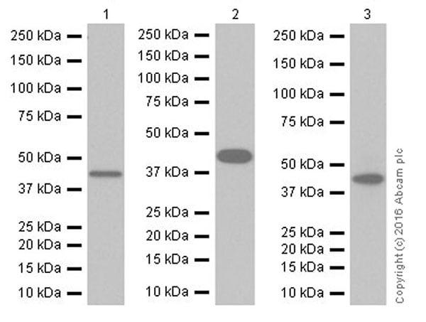 Western blot - Anti-ALKBH1 antibody [EPR19215] (ab195376)