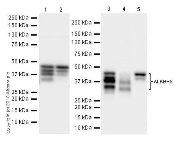 Western blot - Anti-ALKBH5 antibody [EPR18958] (ab195377)