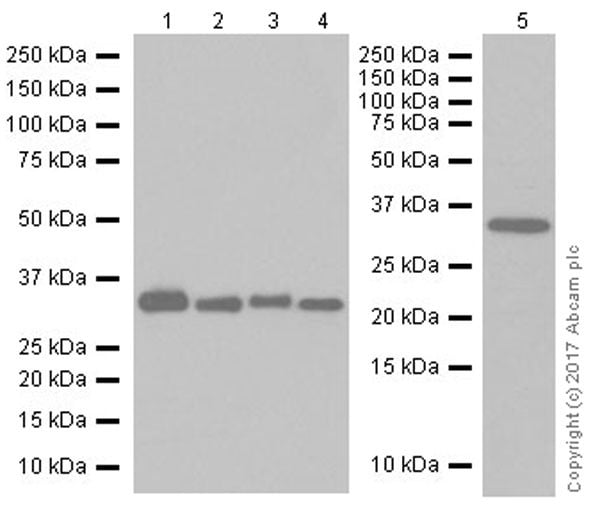 Western blot - Anti-ALKBH4 antibody [EPR19216] (ab195379)