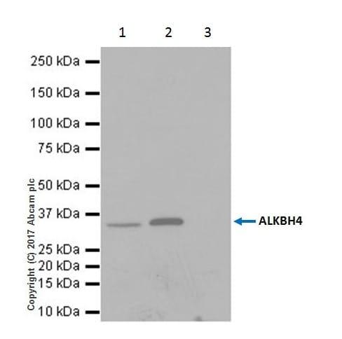 Immunoprecipitation - Anti-ALKBH4 antibody [EPR19216] (ab195379)