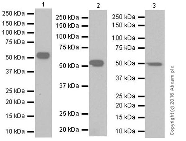 Western blot - Anti-WTAP antibody [EPR18744] (ab195380)