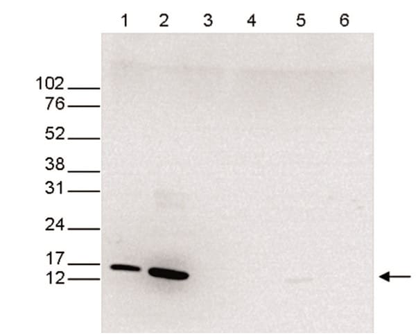 Western blot - Anti-Histone H3 (mono methyl K4) antibody - ChIP Grade (ab195391)