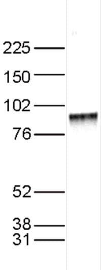 Western blot - Anti-KMT6 / EZH2 antibody - ChIP Grade (ab195409)
