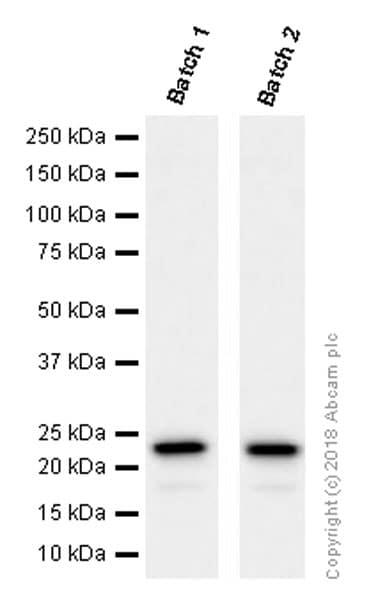 Western blot - Anti-CD9 antibody [EPR2949] - BSA and Azide free (ab195422)