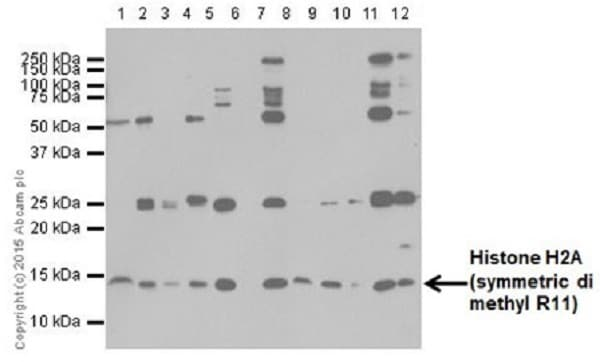 Western blot - Anti-Histone H2A (symmetric di methyl R11) antibody [E18766] (ab195464)