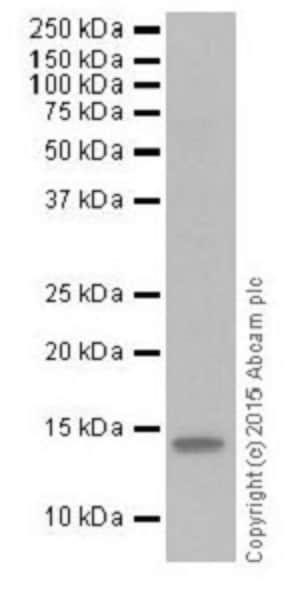 Western blot - Anti-Histone H2A (crotonyl K119) antibody [EPR18769] (ab195467)