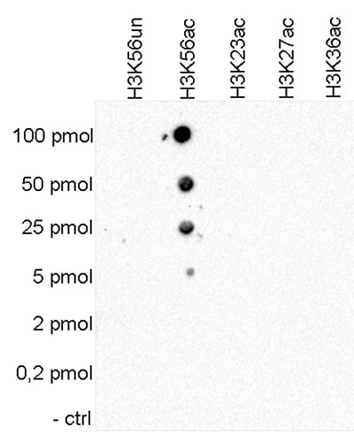 Dot Blot - Anti-Histone H3 (acetyl K56) antibody - ChIP Grade (ab195478)