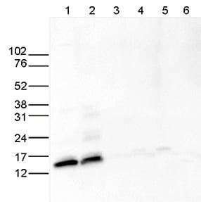 Western blot - Anti-Histone H2A (acetyl K5) antibody - ChIP Grade (ab195486)