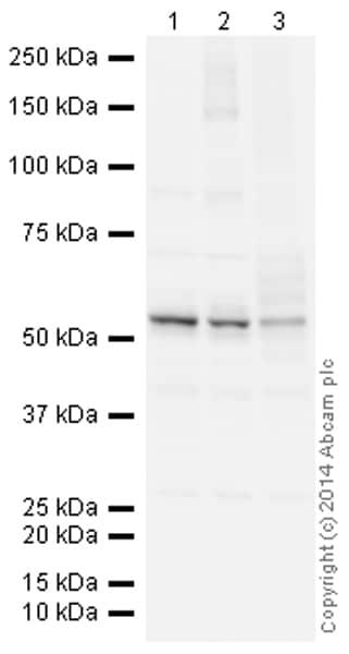 Western blot - Anti-Calreticulin antibody [EPR3924] - ER Marker (HRP) (ab195511)