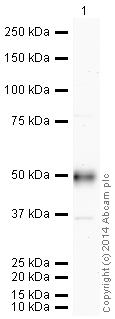 Western blot - HRP Anti-CD14 antibody [EPR3653] (ab195525)