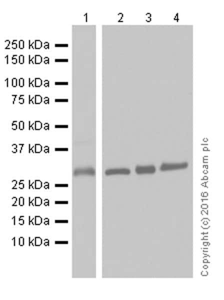 Western blot - Anti-CNOT7 antibody [EPR18722] (ab195587)