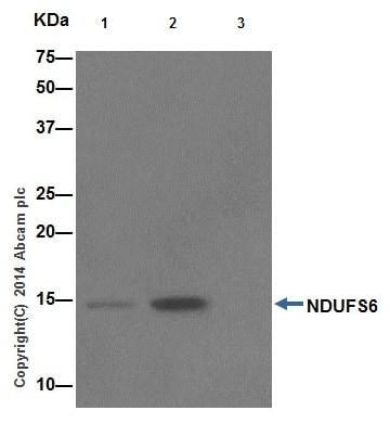Immunoprecipitation - Anti-NDUFS6 antibody [EPR15957] (ab195807)