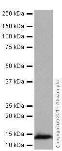Western blot - Anti-NDUFS6 antibody [EPR15957-37] (ab195808)