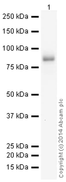 Western blot - Anti-CD19 antibody [EPR5906] (HRP) (ab195896)