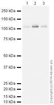 Western blot - Anti-KDM1 / LSD1 antibody [EPR6825] - Nuclear Marker (HRP) (ab195897)