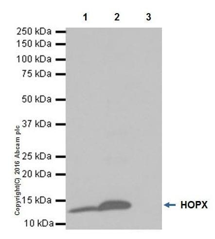 Immunoprecipitation - Anti-HOPX/HOD antibody [EPR18760] (ab195974)