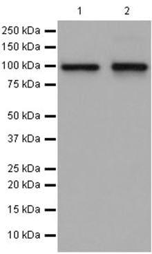 Western blot - Anti-NVL antibody [EP14884] (ab196014)