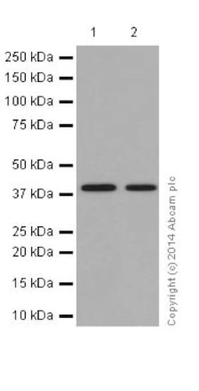 Western blot - Anti-BSND antibody [EPR14270] - C-terminal (ab196017)