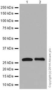 Western blot - Anti-RABL3 antibody [EPR16709] - C-terminal (ab196024)